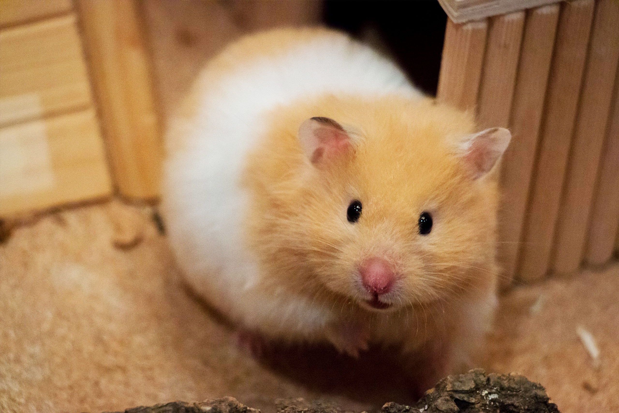 Popular Hamster Breeds Species And Profiles Petreview