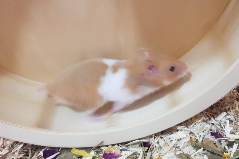 Syrian Hamster – Life Of Boi Boi