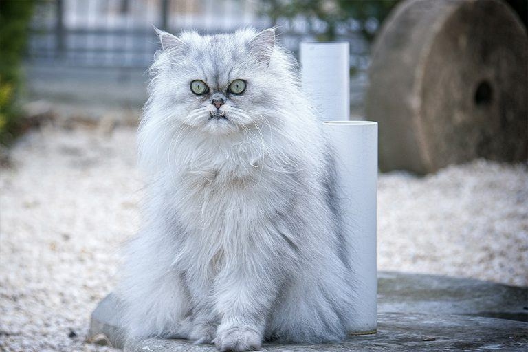 The Persian Cat – Breed Profile, Care, Diet and Nutrition