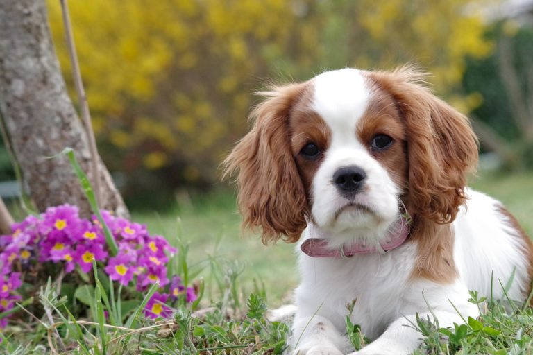 The English Cocker Spaniel – Breed Profile, Care, Diet and Nutrition