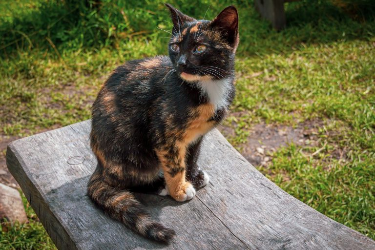 Tortoiseshell Cats – fun facts about the cat with 'Tor-titude'